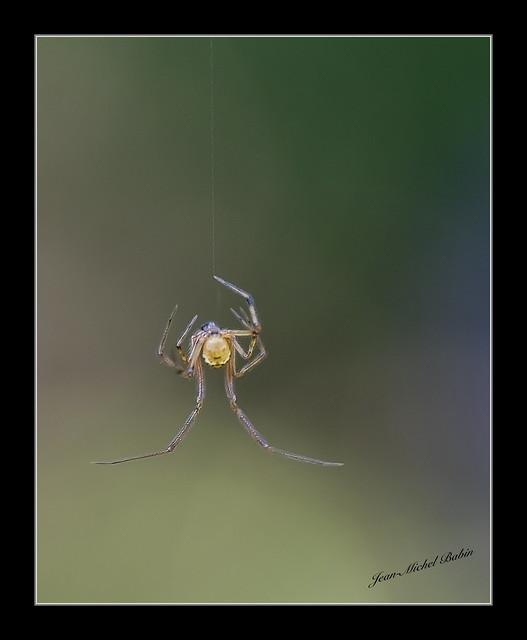 Theridiidae.