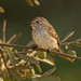 Olives & Spotted Flycatcher, Muscicapa striata