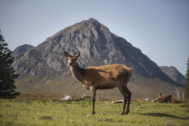 Red Deer and Buachaille Etive Mòr, Glen Coe, Scotland (Explored)