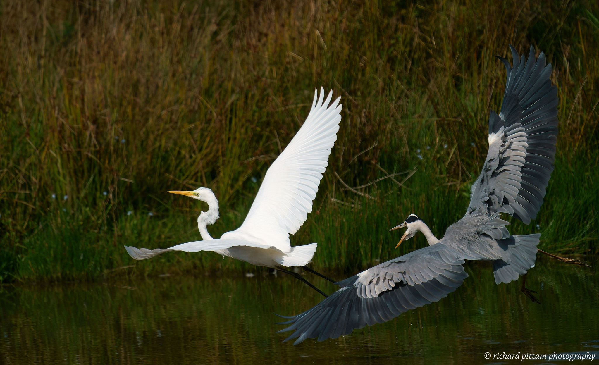 Great White Egrets and Grey Heron action [A9]