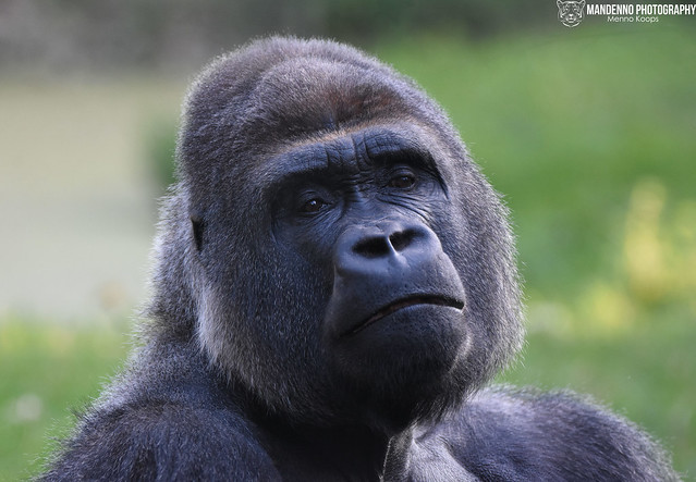 Gorilla - Burgers Zoo