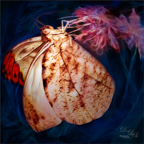 Image of Great Orange Tip Butterfly