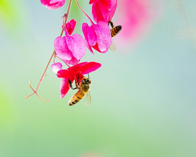 Honeybees and Coral Vine