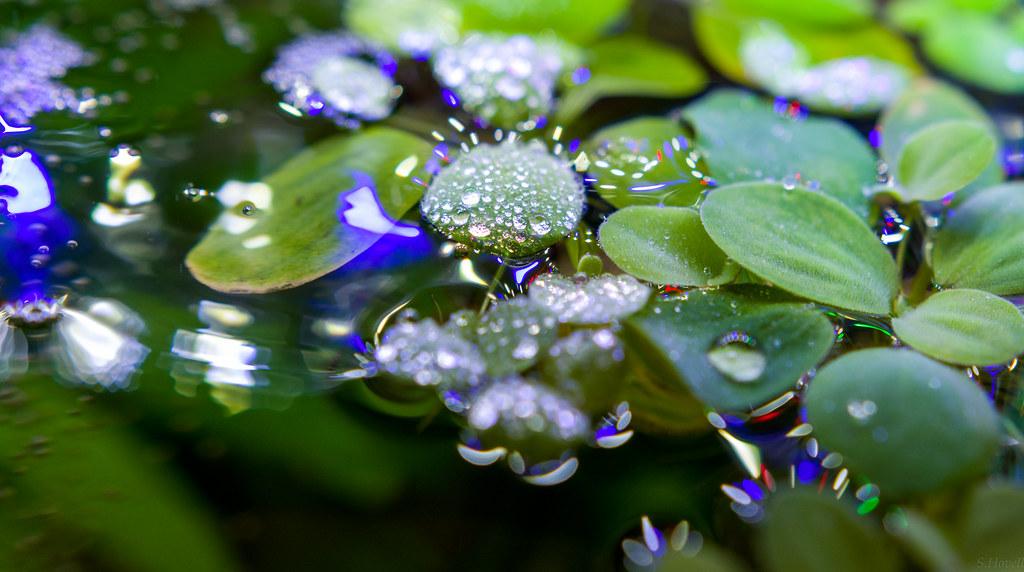 "Pista Stratiotes (""Water Lettuce"")"