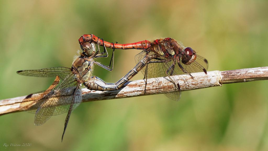 Mating Common Darter dragonflies
