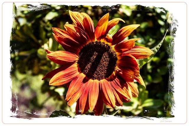 IMG_2381_Sunflower