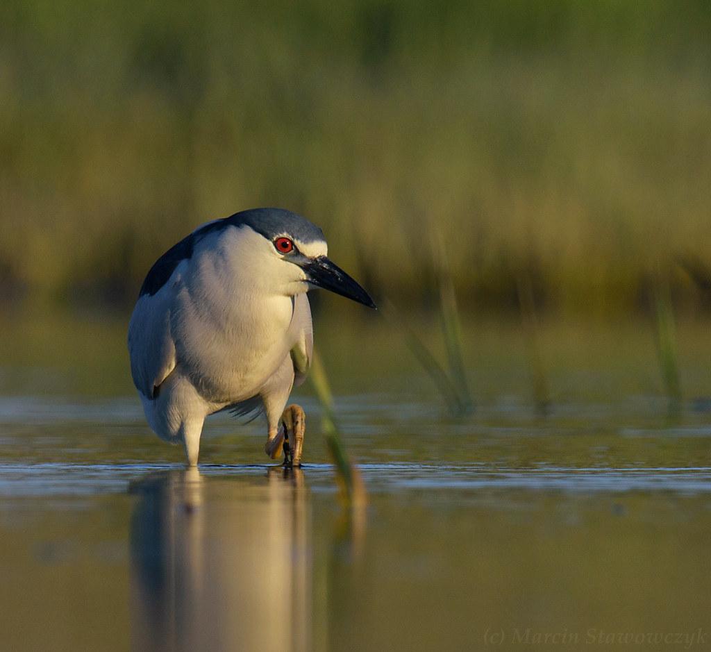 Stepping heron