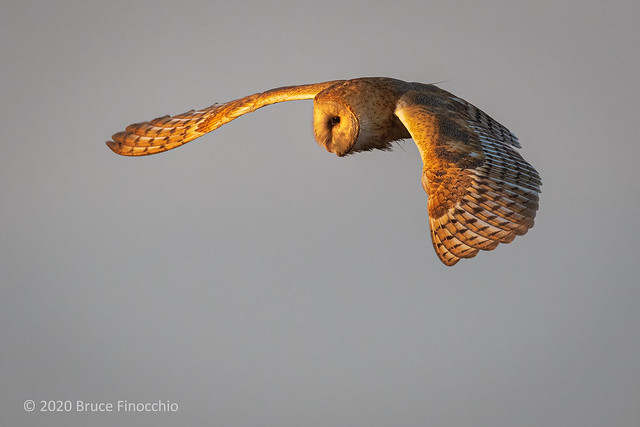 A Flying Barn Owl With Wings Spread Out In The Early Morning Sunlight