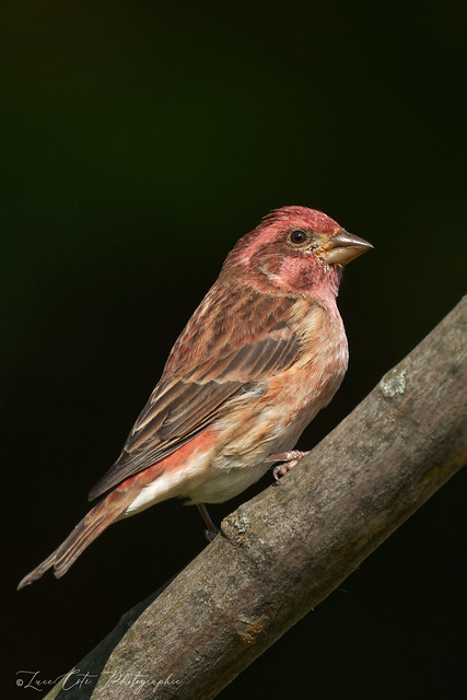 Purple Finch / Roselin Pourpré (M)