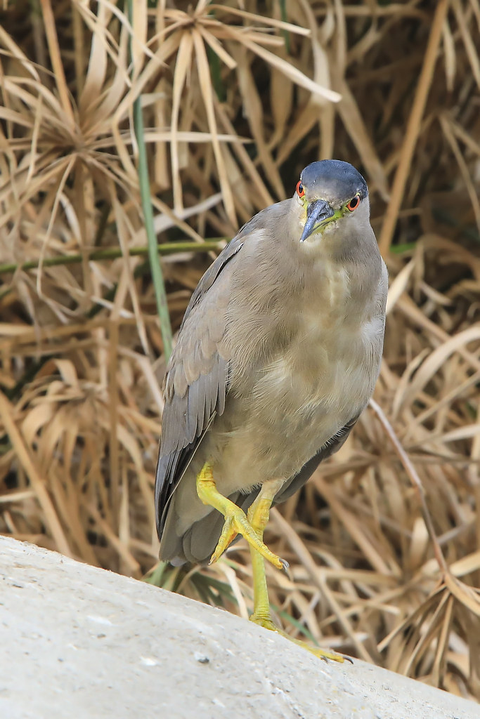 Black-crowned Night-Heron (Nycticorax nycticorax) 1 092120