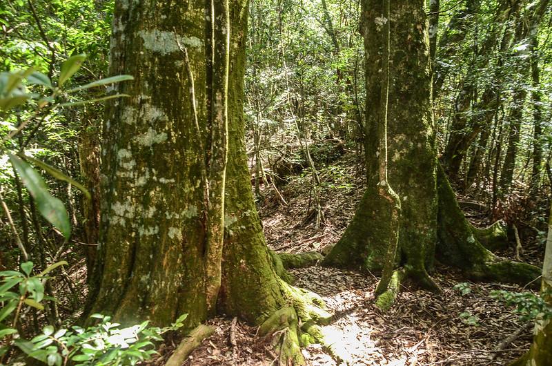 南坑山稜線迎賓樹