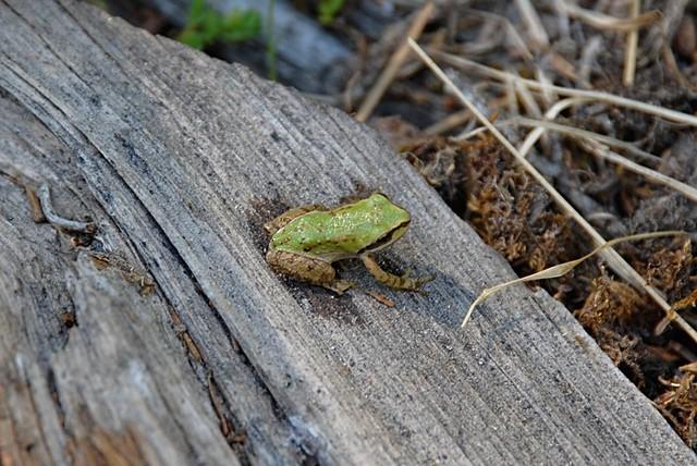 Pseudacris sierra (Sierran Tree Frog)