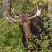 Nibbling Bull Moose
