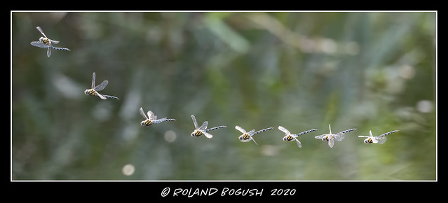 Dragonfly preying - this male Migrant Hawker obviously spotted something good to eat and zoomed up to get it.