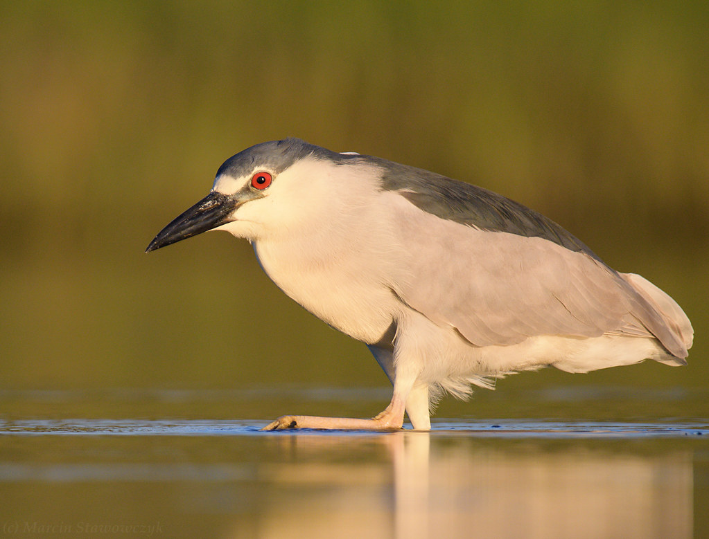 Marching night heron