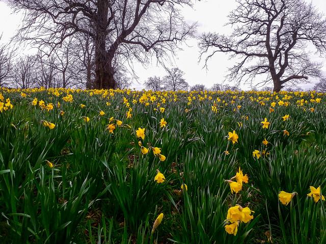 Daffodils, beneath the trees