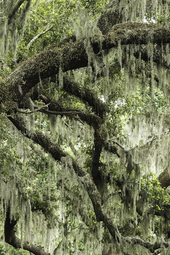 fortbendcounty spanishmoss texas usa branches green image intimatelandscape landscape limbs moss nature oaktree photo photograph summer teeesdetail tree woods f11 mabrycampbell july 2020 july202020 20200720campbellb4a1366pano 400mm ¹⁄₃₂₀sec iso10000 ef200mmf28liiusm2xiii fav10