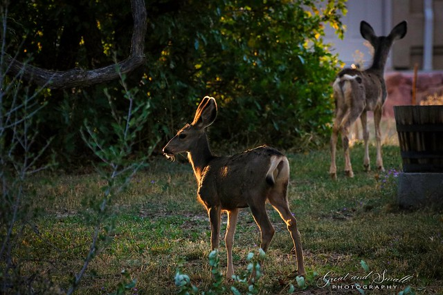 Fawns at sunset