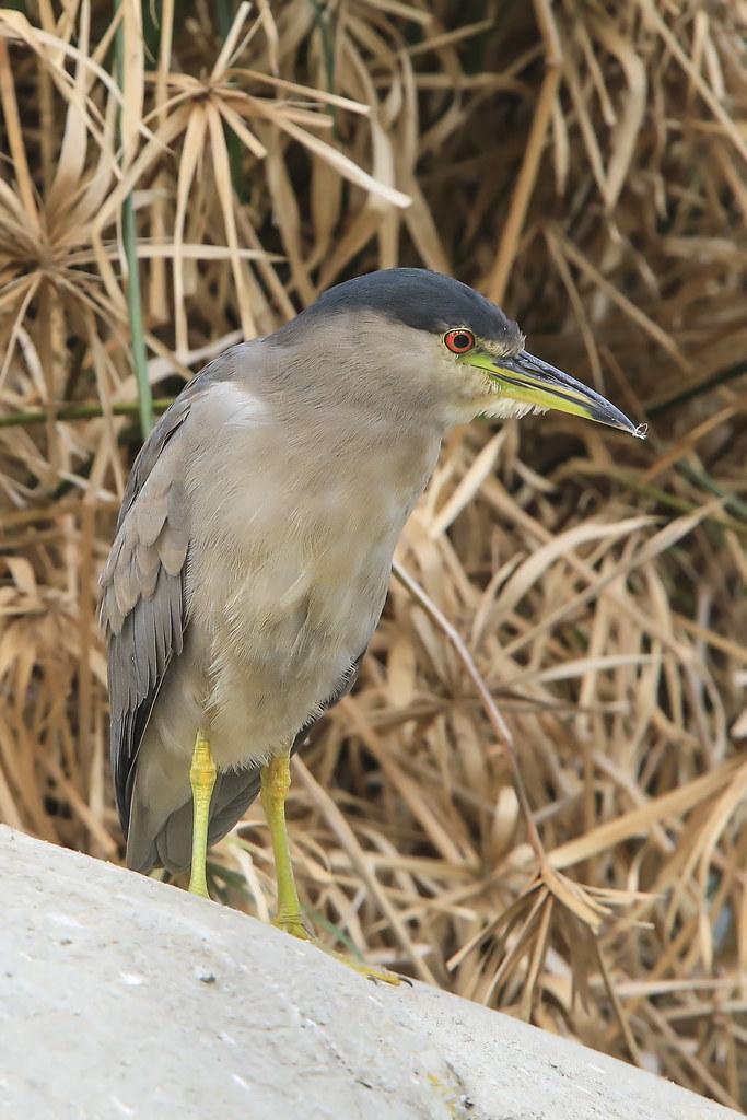 Black-crowned Night-Heron (Nycticorax nycticorax) 5 092120