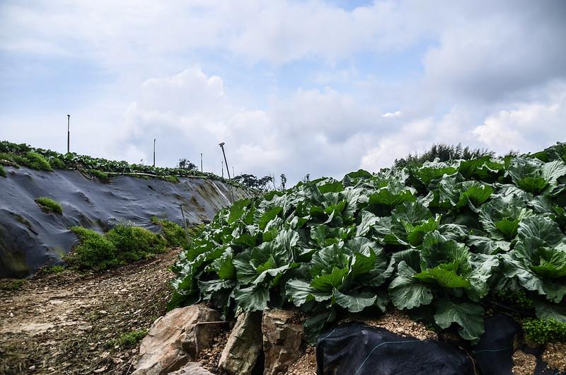 南坑山開墾區菜園