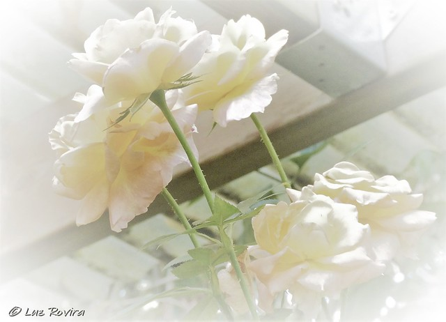 P1450230 new roses in my garden