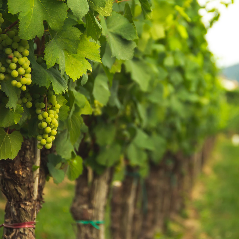 vineyard-alex-gorbi-1u5pF1qzKn4-unsplash