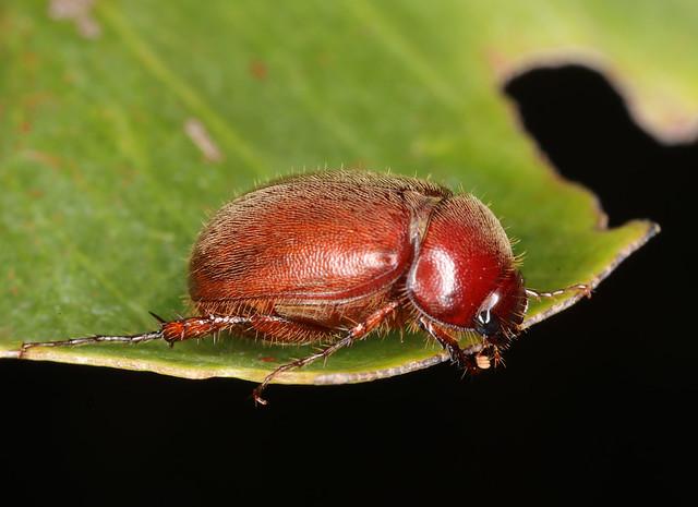Beetle feeding on leaf at Berrimah, Northern Territory, Australia.