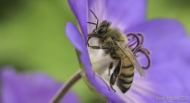 Honey bee on Geranium sylvaticum