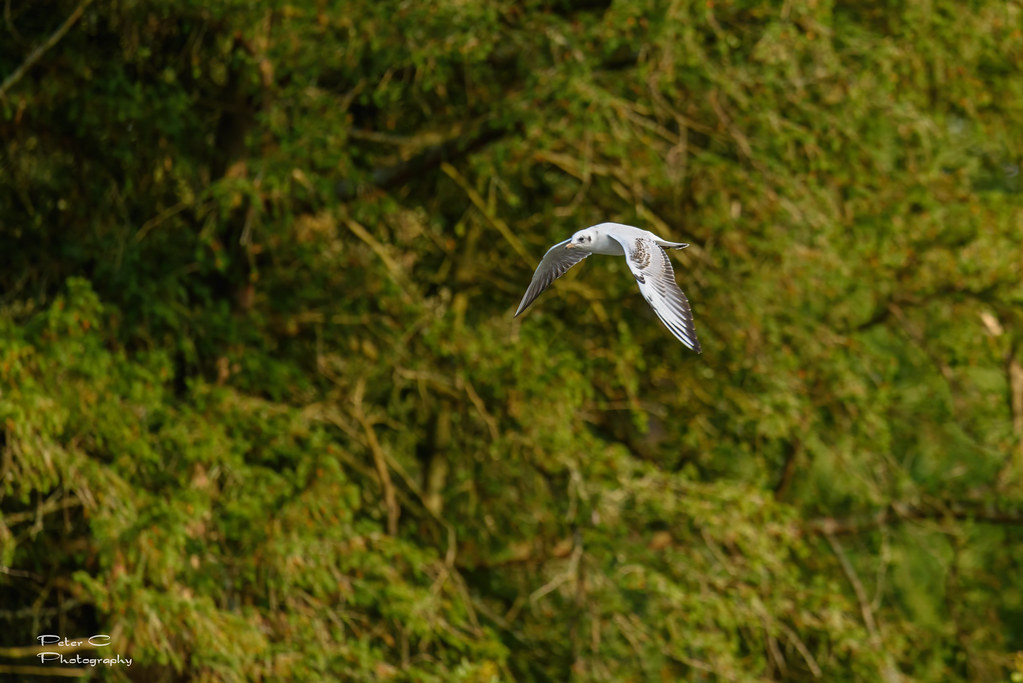 Young gull 2