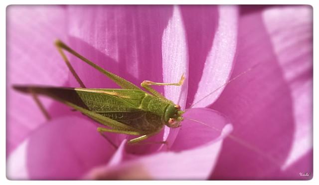 Antennae In Pink