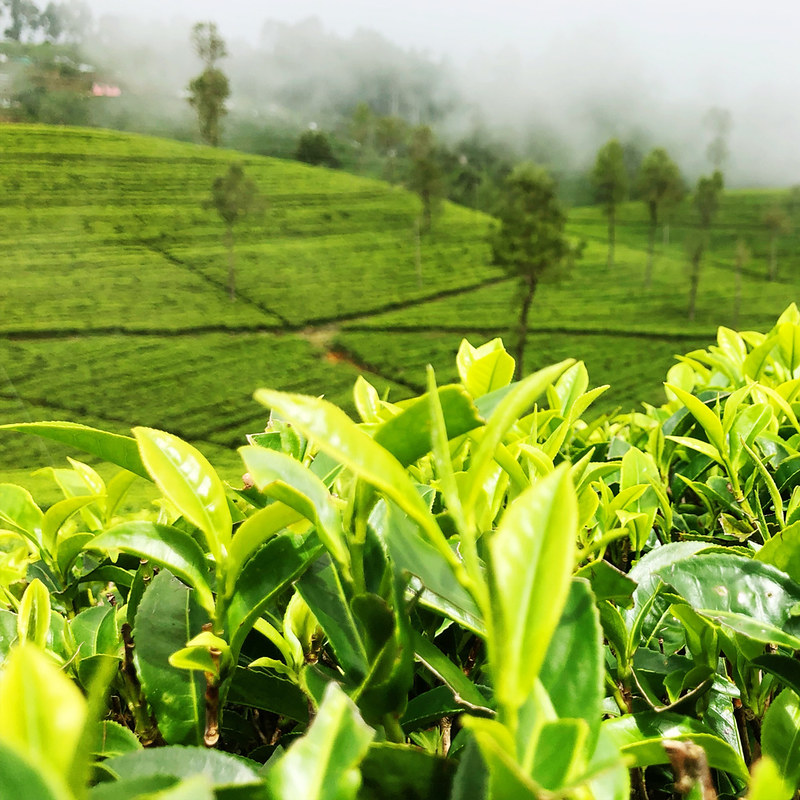 tea-field-alex-gorbi-1u5pF1qzKn4-unsplash