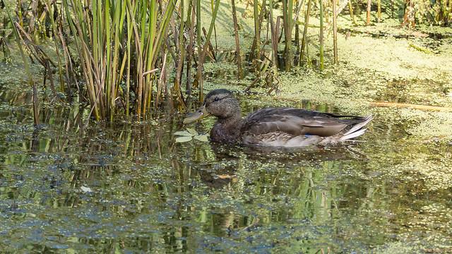 Canard colvert - Mallard duck, Québec, PQ, Canada - 9069