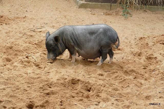 31-Minischwein Amy