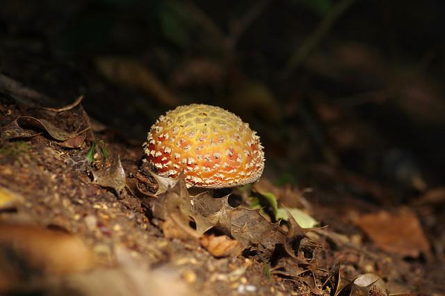 Autumn Toadstool....