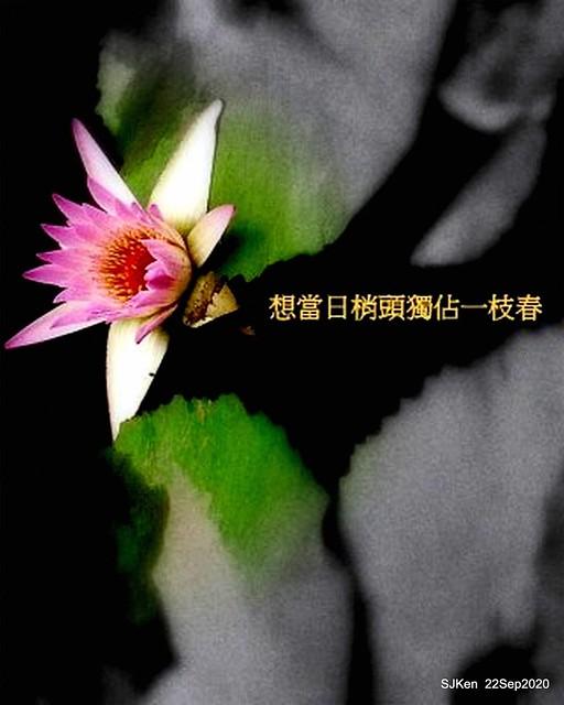 Image retouching artwork, Waterlily, Taipei, Taiwan, SJKen, Sep 21, 2020