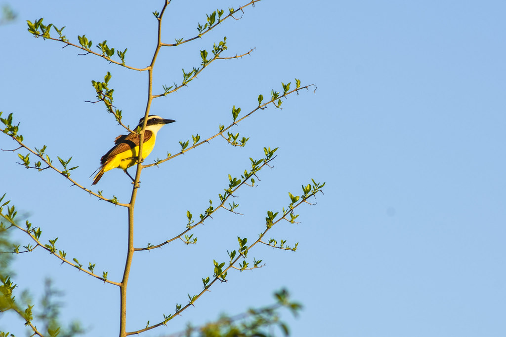 Watching the sunset from above (Great kiskadee - Pitangus sulphuratus)