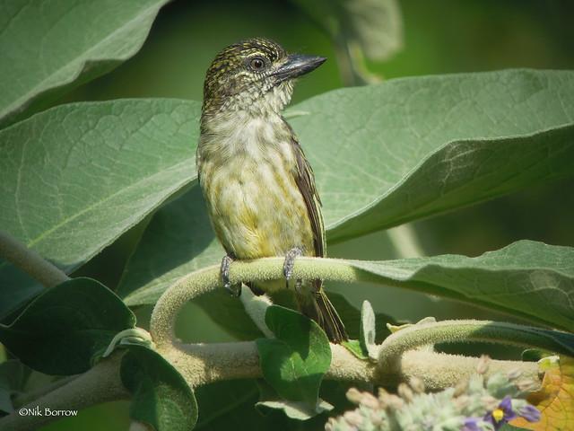 Speckled Tinkerbird Pogonolius scolopaceus flavisquamatus