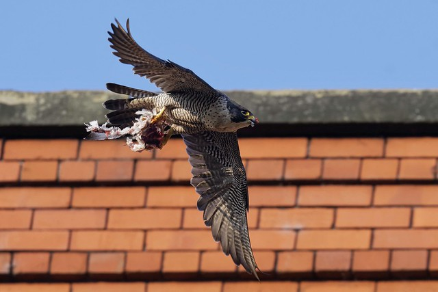 Peregrine Falcon,female with prey