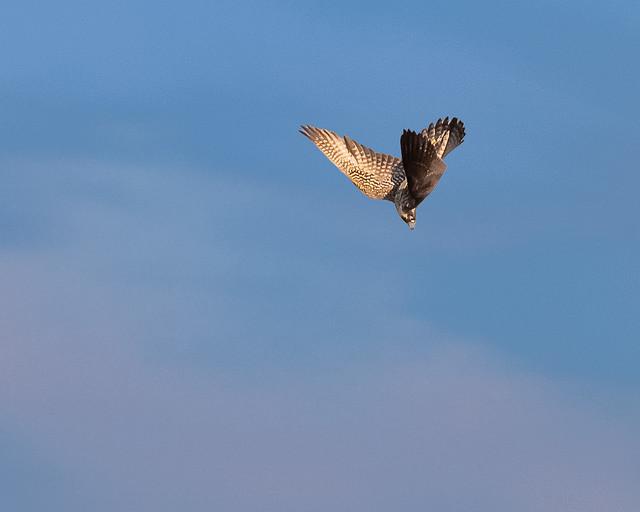 Peregrine Falcon_9949_09-21-2020_JBWR