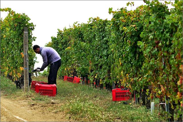 Grape Harvest in Barolo ...