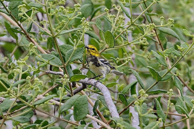 Зелёный лесной певун, Setophaga virens, Black-throated Green Warbler
