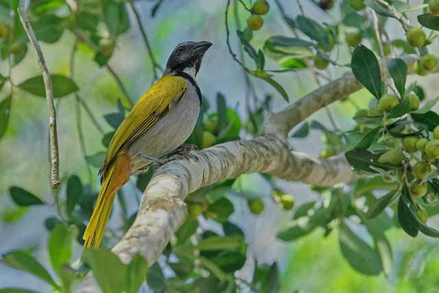 Черноголовый сальтатор, Saltator atriceps raptor, Black-headed Saltator