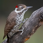 Arizona Woodpecker ♂