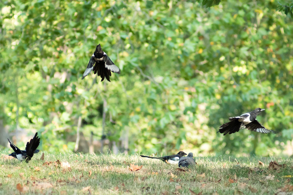 Magpies scattering as a dog approaches