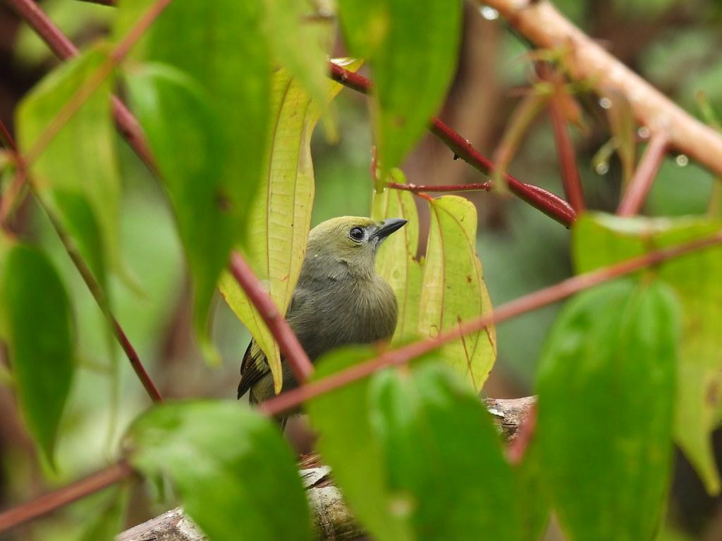 Thraupis palmarum, comiendo frutos de Miconia minutiflora (Bonpl.) DC.
