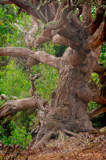 Swamp Gum Tree (Eucalyptus ovata)