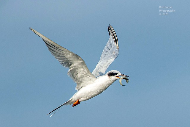 Forster's Tern Nonbreeding Adult.