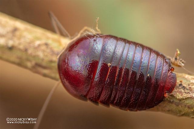 Pill cockroach (Perisphaerus sp.) - DSC_7510
