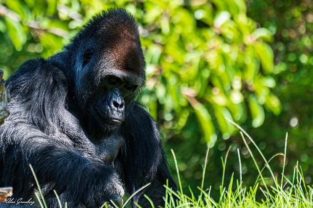 Gorilla concentration