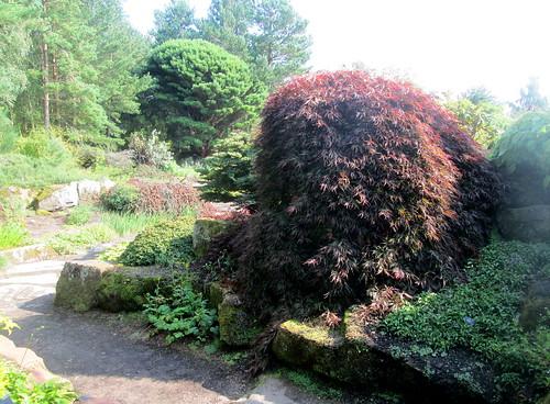 Edinburgh Botanics Gardens, Acer